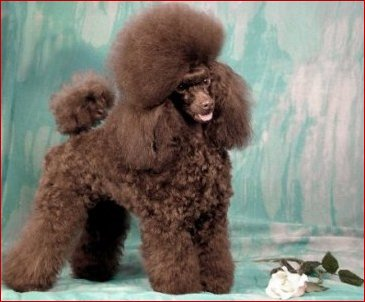 Champion Bred Toy Poodles by Kays Toy Poodles